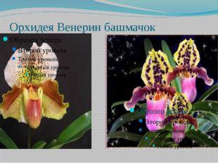 Орхидея Венерин башмачок