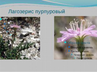 Лагозерис пурпуровый