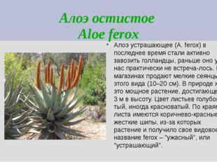 Алоэ остистое Aloe ferox Алоэ устрашающее (A. ferox) в последнее время стали