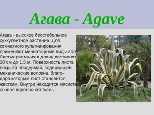 Агава - Agave Агава - высокое бесстебельное суккулентное растение. Для комнат