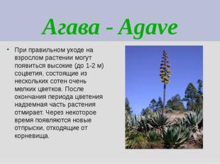 Агава - Agave При правильном уходе на взрослом растении могут появиться высок