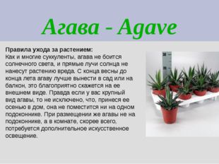 Агава - Agave Правила ухода за растением: Как и многие суккуленты, агава не б