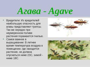 Агава - Agave Вредители: Из вредителей наибольшую опасность для агавы предста