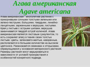 Агава американская Agave americana Агава американская - многолетнее растение