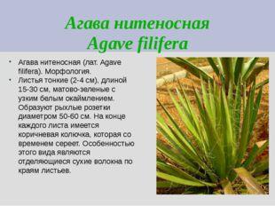 Агава нитеносная Agave filifera Агава нитеносная (лат. Agave filifera). Морфо