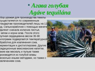 Агава голубая Agáve tequilána Сбор урожая для производства текилы осуществляе