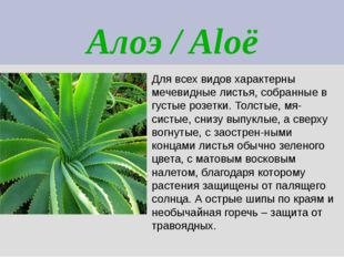 Алоэ / Aloë Для всех видов характерны мечевидные листья, собранные в густые р