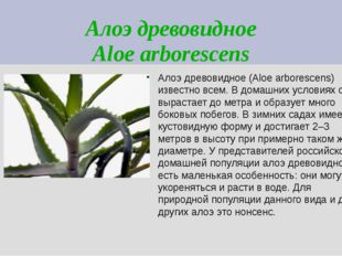 Алоэ древовидное Aloe arborescens Алоэ древовидное (Aloe arborescens) известн