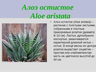 Алоэ остистое Aloe aristata Алоэ остистое (Aloe aristata) – растение с толсты