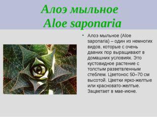 Алоэ мыльное Aloe saponaria Алоэ мыльное (Aloe saponaria) – один из немногих