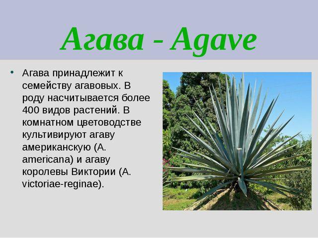 Агава - Agave Агава принадлежит к семейству агавовых. В роду насчитывается бо...