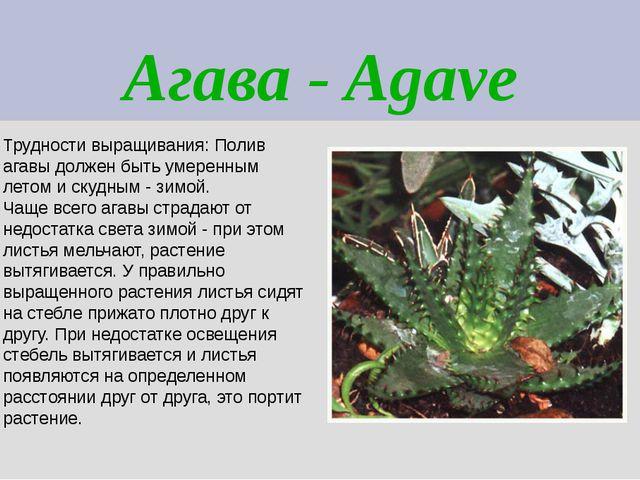 Агава - Agave Трудности выращивания: Полив агавы должен быть умеренным летом...