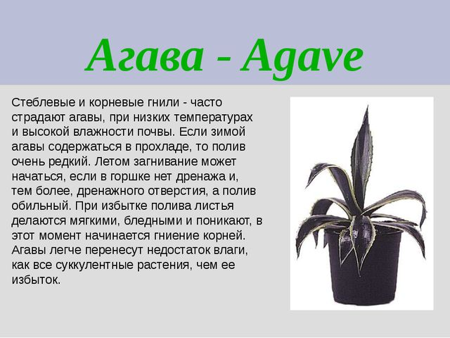 Агава - Agave Стеблевые и корневые гнили - часто страдают агавы, при низких т...
