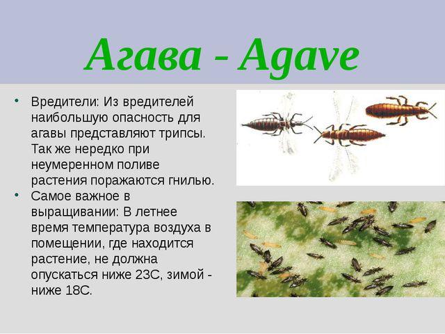 Агава - Agave Вредители: Из вредителей наибольшую опасность для агавы предста...