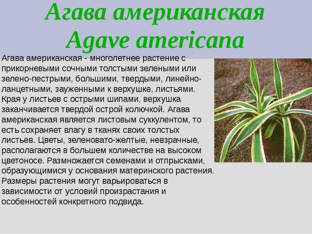 Агава американская Agave americana Агава американская - многолетнее растение...