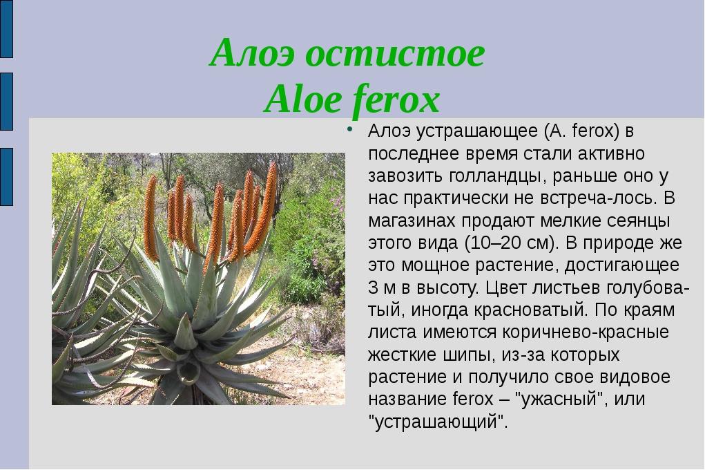 Алоэ остистое Aloe ferox Алоэ устрашающее (A. ferox) в последнее время стали...