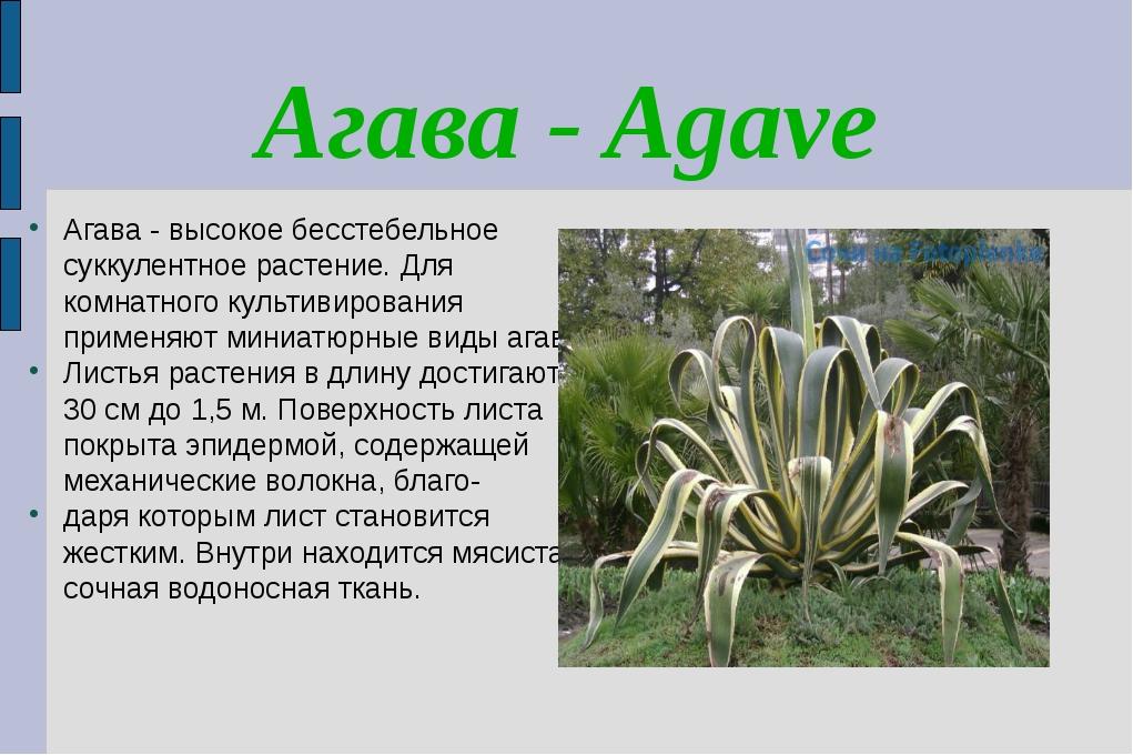 Агава - Agave Агава - высокое бесстебельное суккулентное растение. Для комнат...