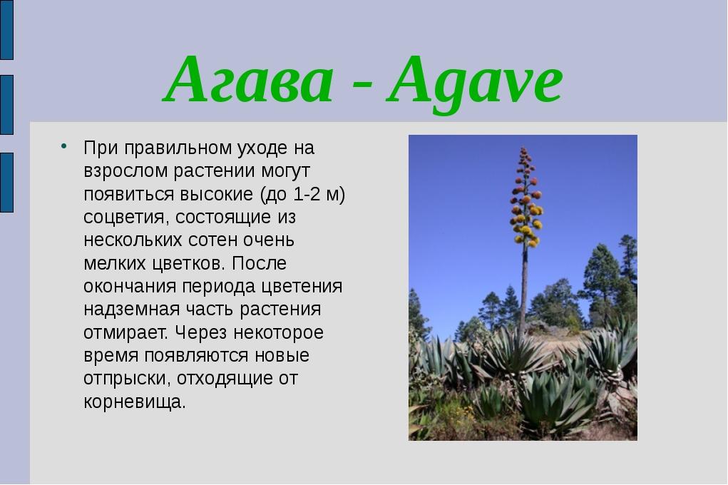 Агава - Agave При правильном уходе на взрослом растении могут появиться высок...