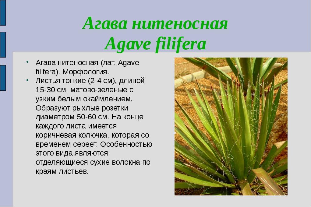 Агава нитеносная Agave filifera Агава нитеносная (лат. Agave filifera). Морфо...