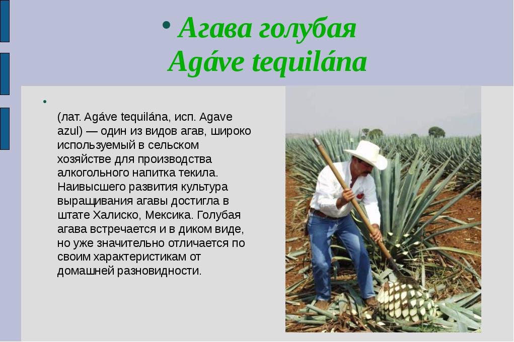 Агава голубая Agáve tequilána Ага́ва голуба́я, или теки́льная (лат. Agáve teq...