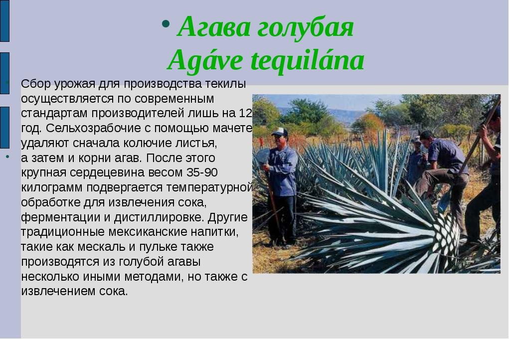 Агава голубая Agáve tequilána Сбор урожая для производства текилы осуществляе...