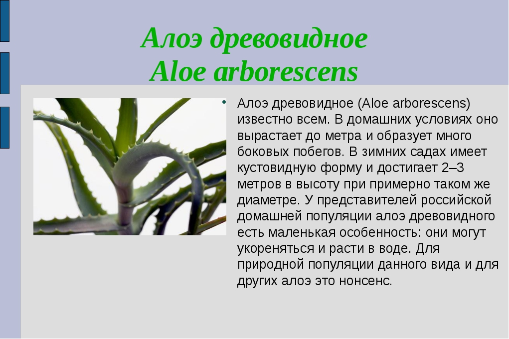 Алоэ древовидное Aloe arborescens Алоэ древовидное (Aloe arborescens) известн...