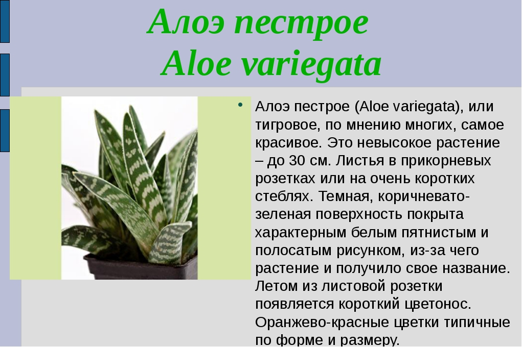 Алоэ пестрое Aloe variegata Алоэ пестрое (Aloe variegata), или тигровое, по м...