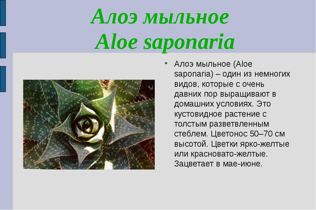 Алоэ мыльное Aloe saponaria Алоэ мыльное (Aloe saponaria) – один из немногих...