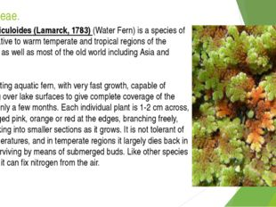 Azollaceae. Azolla filiculoides (Lamarck, 1783) (Water Fern) is a species of