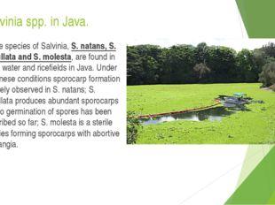 Salvinia spp. in Java. Three species of Salvinia, S. natans, S. cucullata and