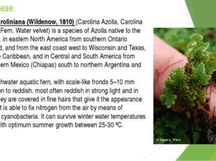 Azollaceae. Azolla caroliniana (Wildenow, 1810) (Carolina Azolla, Carolina Mo