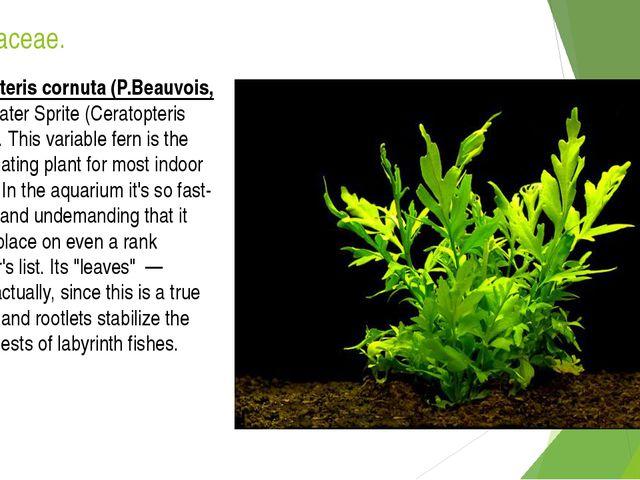 Pteridaceae. Ceratopteris cornuta (P.Beauvois, 1830).Water Sprite (Ceratopter...