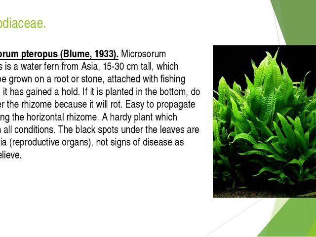 Polypodiaceae. Microsorum pteropus (Blume, 1933). Microsorum pteropus is a wa...