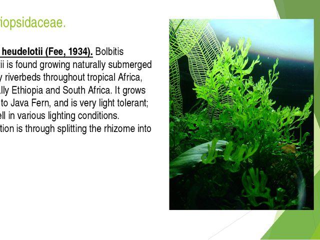 Lomariopsidaceae. Bolbitis heudelotii (Fee, 1934). Bolbitis heudelotii is fou...