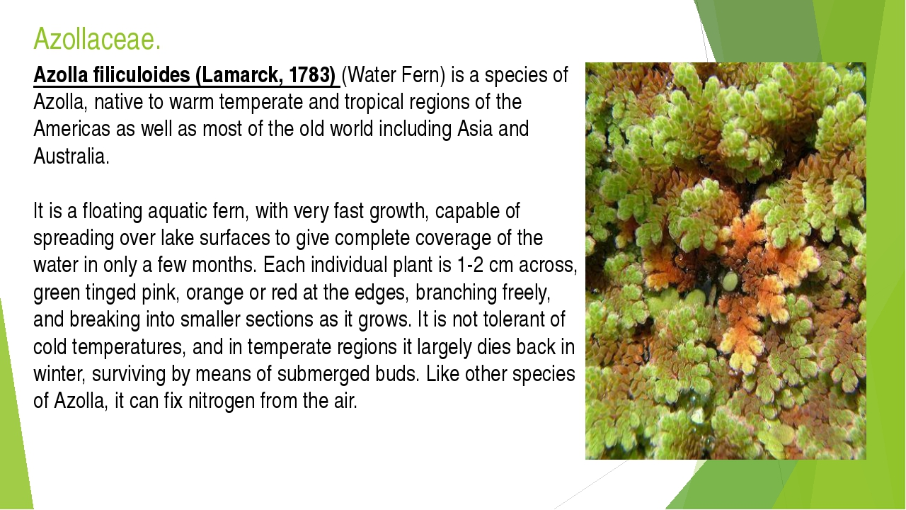 Azollaceae. Azolla filiculoides (Lamarck, 1783) (Water Fern) is a species of...
