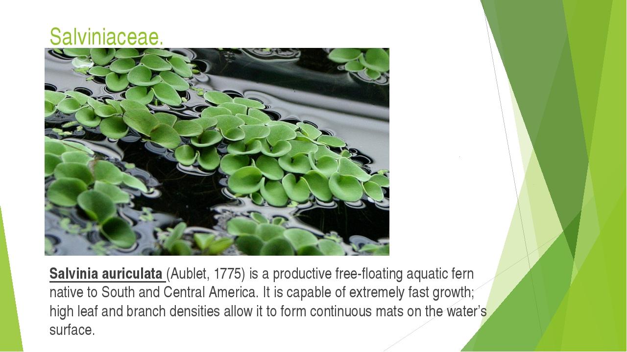 Salviniaceae. Salvinia auriculata (Aublet, 1775) is a productive free-floatin...