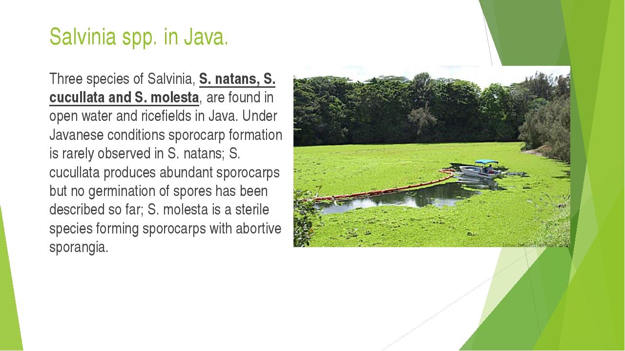 Salvinia spp. in Java. Three species of Salvinia, S. natans, S. cucullata and...