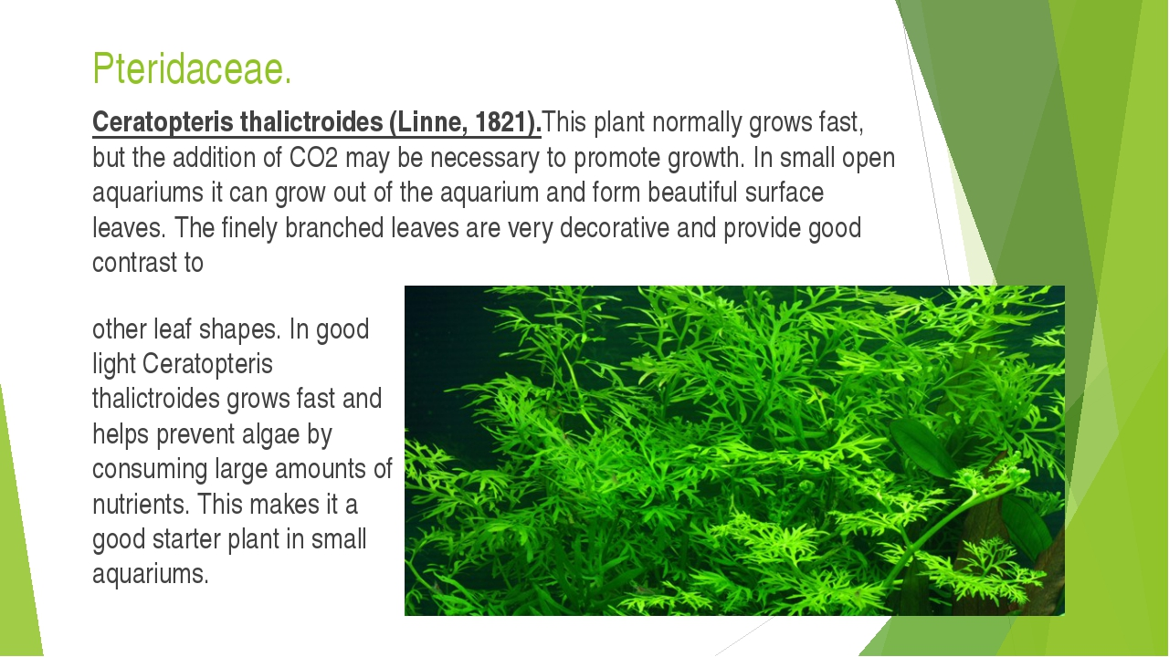 Pteridaceae. Ceratopteris thalictroides (Linne, 1821).This plant normally gro...