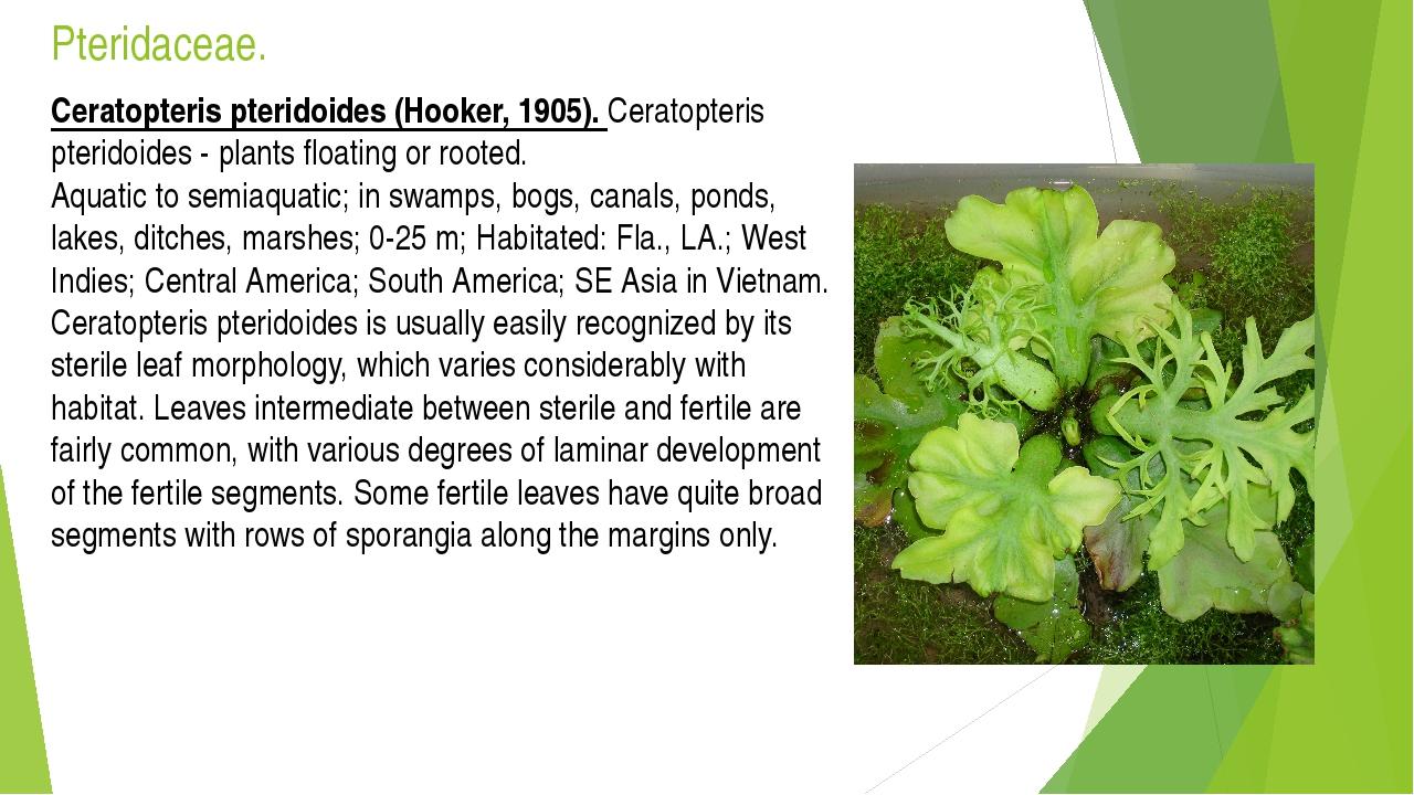 Pteridaceae. Ceratopteris pteridoides (Hooker, 1905). Ceratopteris pteridoide...
