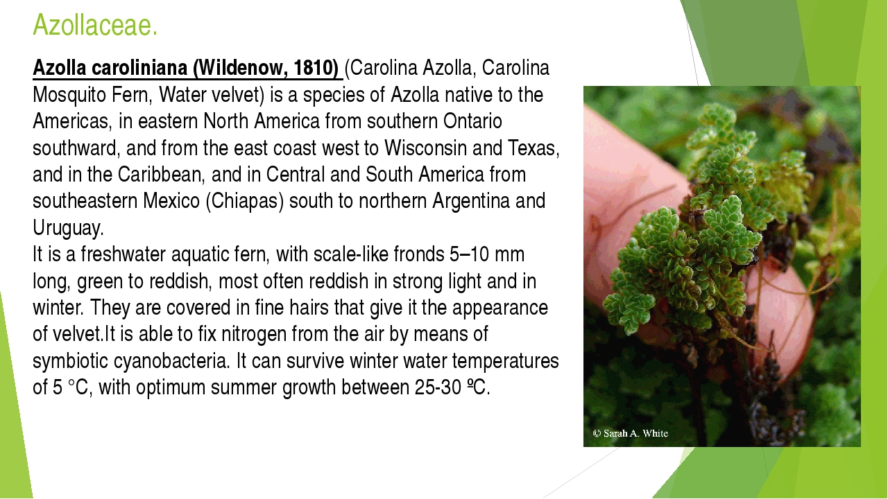 Azollaceae. Azolla caroliniana (Wildenow, 1810) (Carolina Azolla, Carolina Mo...
