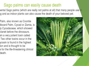 Sago palms can easily cause death The ornamental Sago palms (which are really