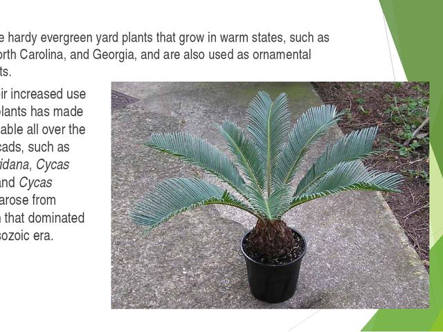 Cycads are hardy evergreen yard plants that grow in warm states, such as Flor...