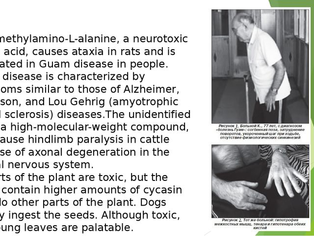 Beta-methylamino-L-alanine, a neurotoxic amino acid, causes ataxia in rats a...