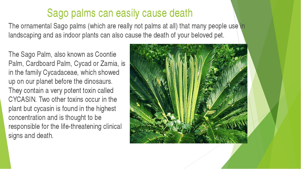 Sago palms can easily cause death The ornamental Sago palms (which are really...