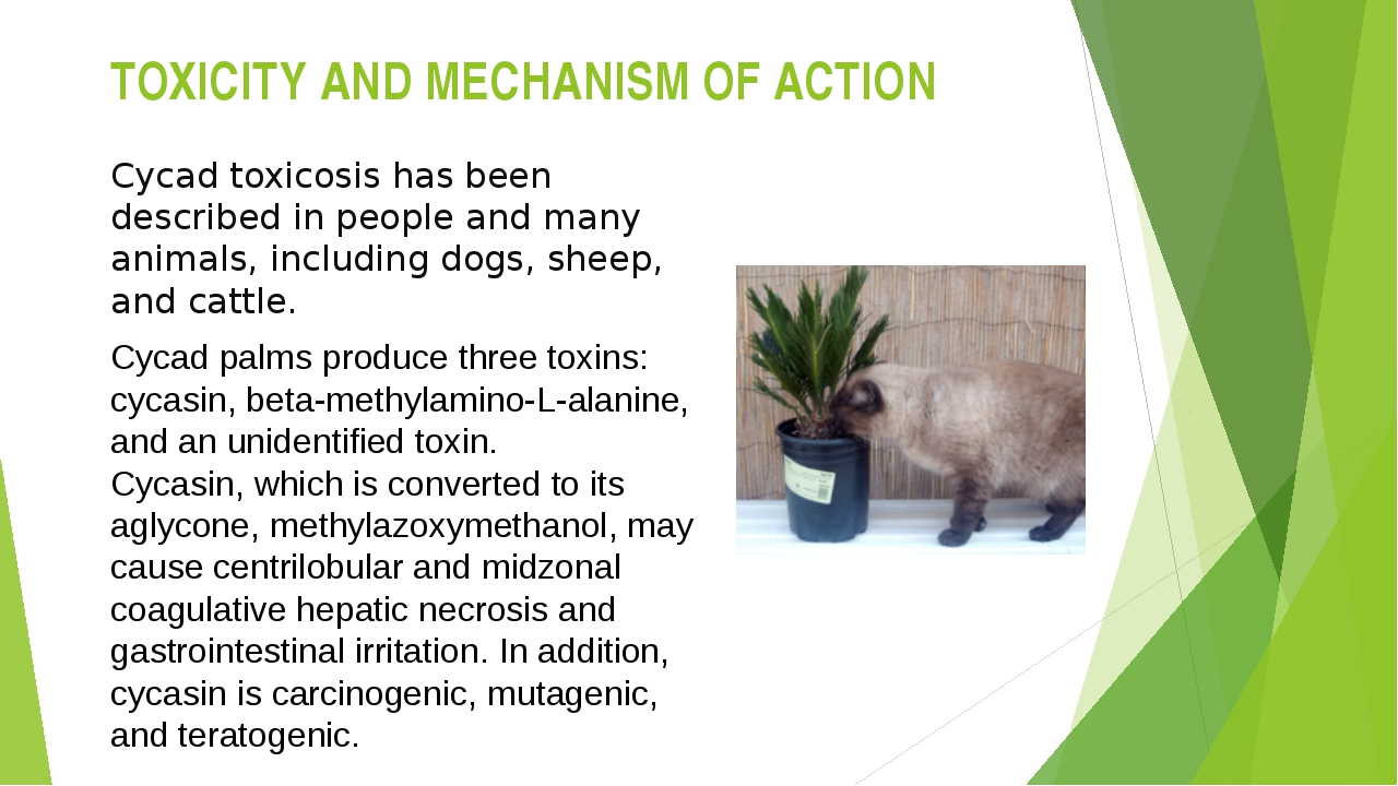 TOXICITY AND MECHANISM OF ACTION Cycad toxicosis has been described in people...