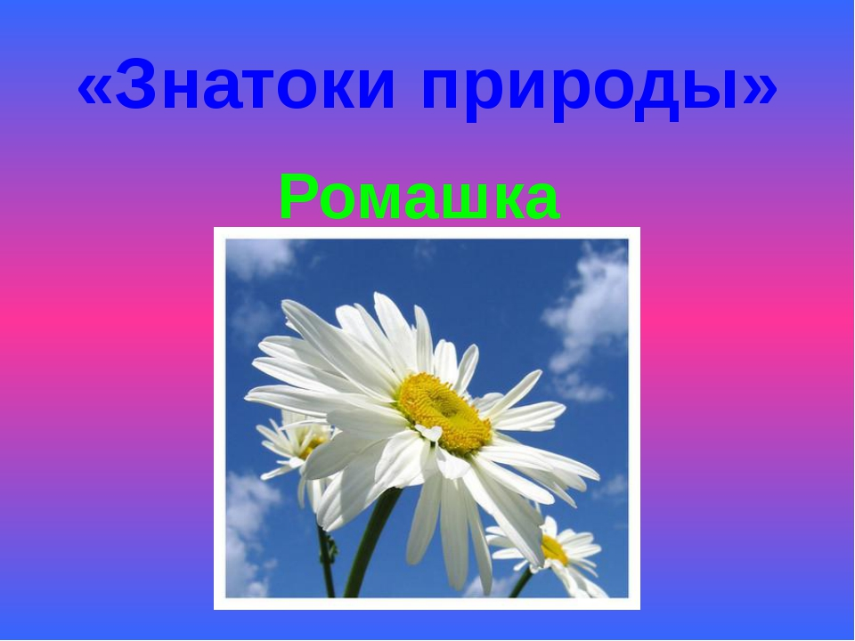 «Знатоки природы» Ромашка