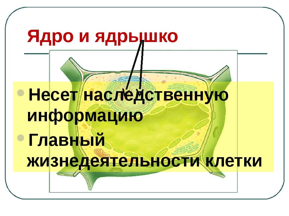 Ядро и ядрышко Несет наследственную информацию Главный жизнедеятельности клетки