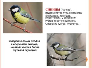 СИНИЦЫ (Parinae), подсемейство птиц семейства синицевых. 48 видов.   Оперен