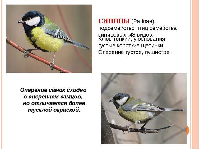 СИНИЦЫ (Parinae), подсемейство птиц семейства синицевых. 48 видов.   Оперен...
