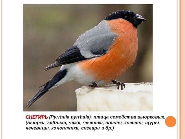 СНЕГИРЬ (Pyrrhula pyrrhula), птица семейства вьюрковых. (вьюрки, зяблики, чиж...